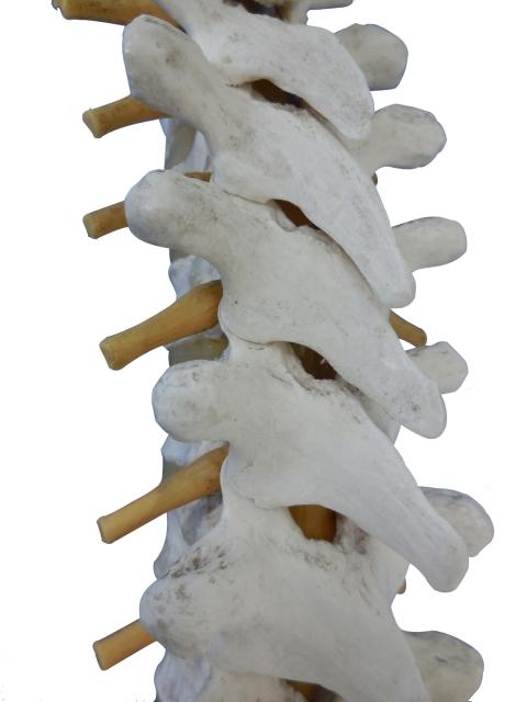 脊椎の模型